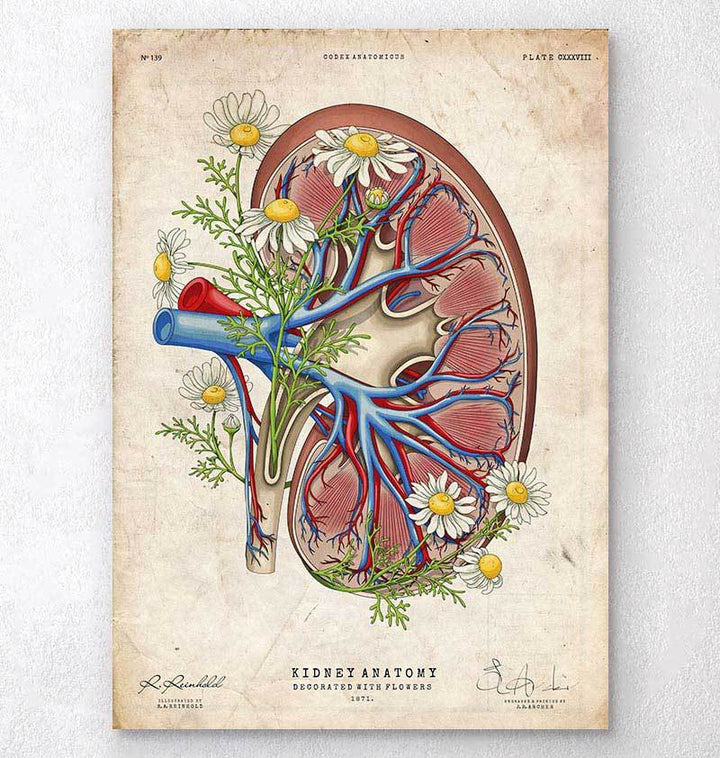 Floral kidney anatomy - Old paper