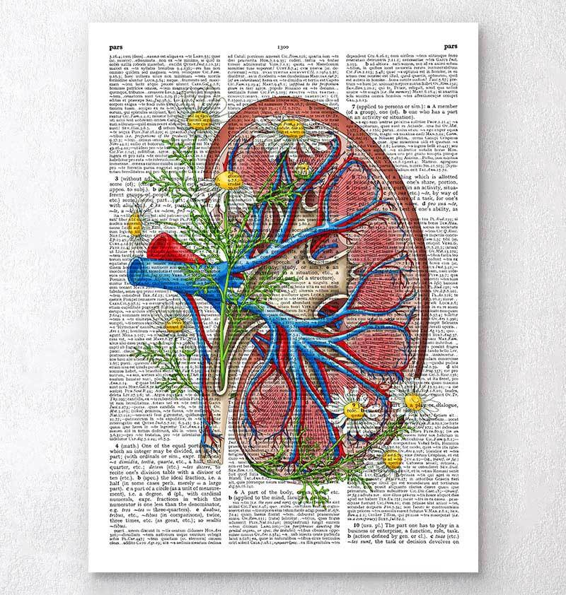 Floral kidney anatomy - Dictionary page