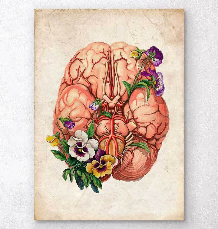 Brain anatomy