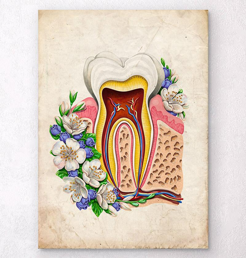 Antique tooth anatomy poster