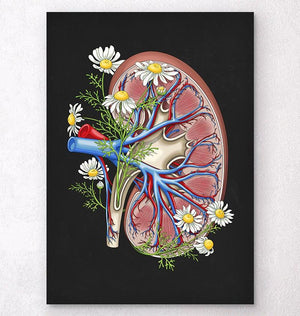 Dissected kidney anatomy