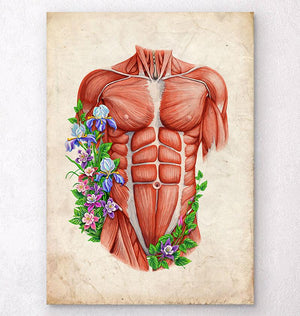 Male anatomy muscles