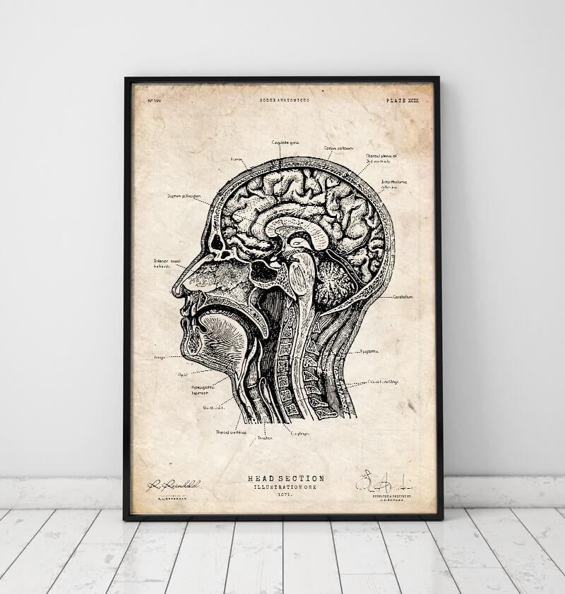 Vintage anatomy poster of head section by codex anatomicus