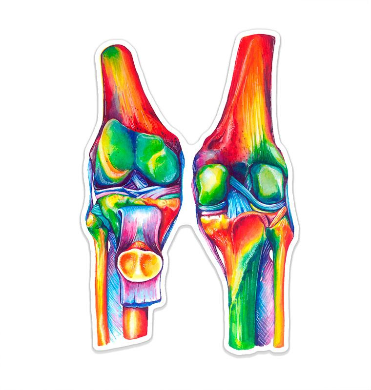 Knees anatomy sticker