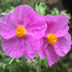 Rock Rose Essential Oil - Song of Stones