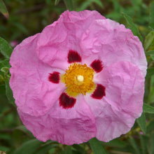 Load image into Gallery viewer, Rock Rose Essential Oil - Song of Stones