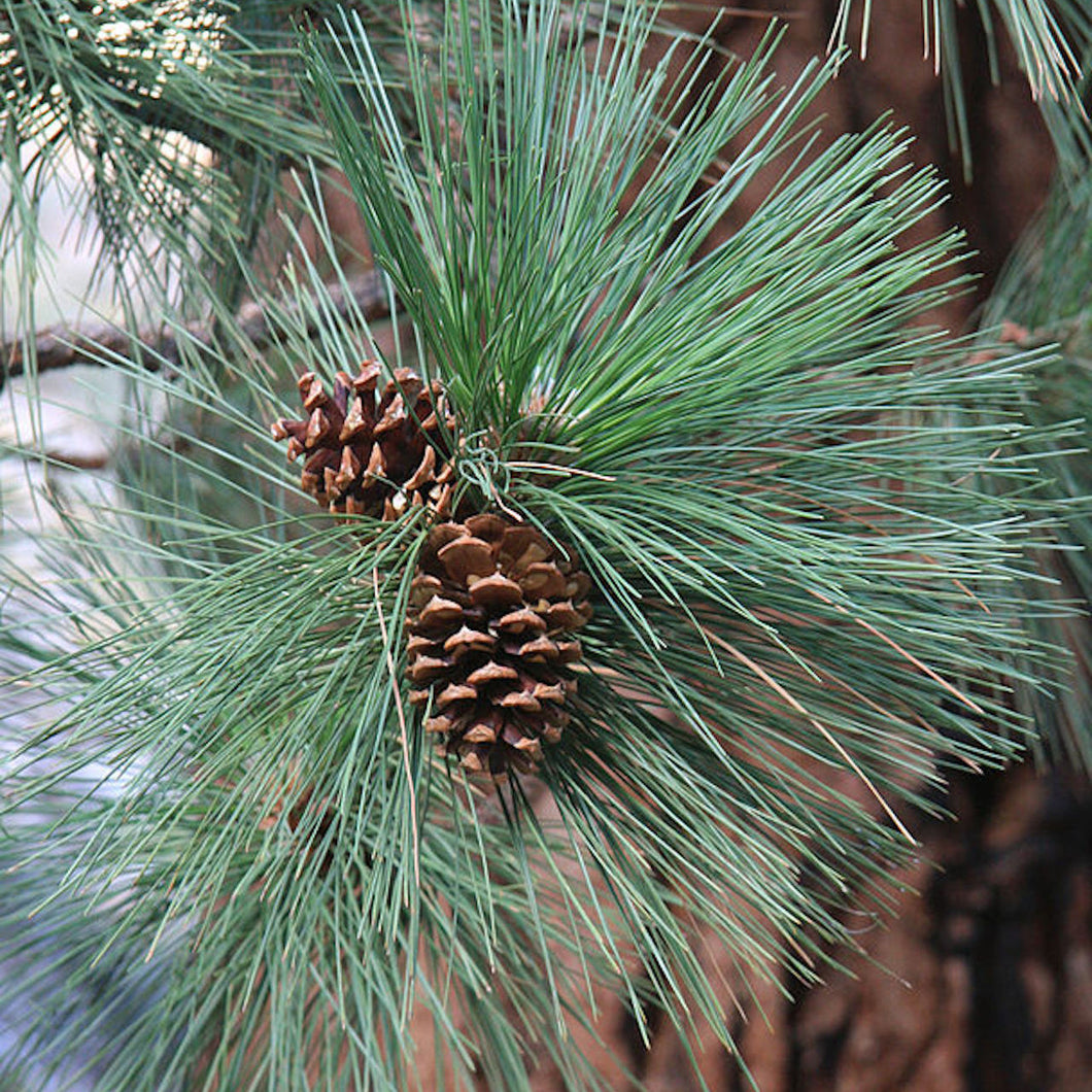 Ponderosa Pine Essential Oil - Song of Stones