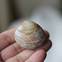 Load image into Gallery viewer, Clam Shell Fossil - Song of Stones