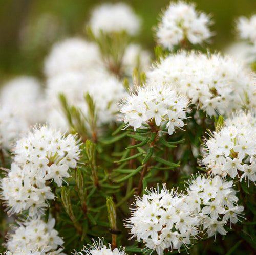 Releasing Anger - Labrador Tea Essential Oil Sample - Song of Stones