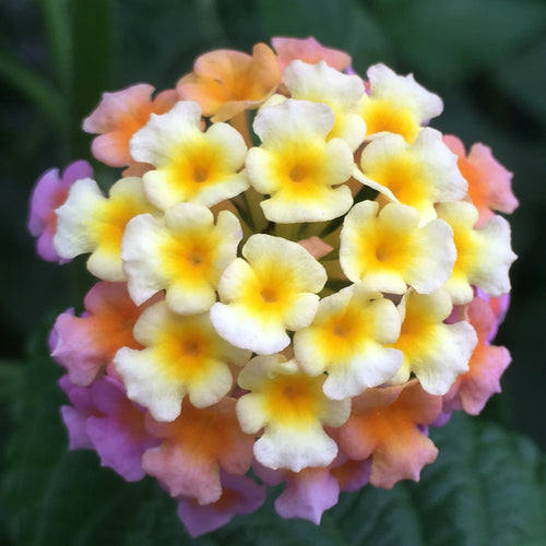 Lantana Essential Oil - Song of Stones