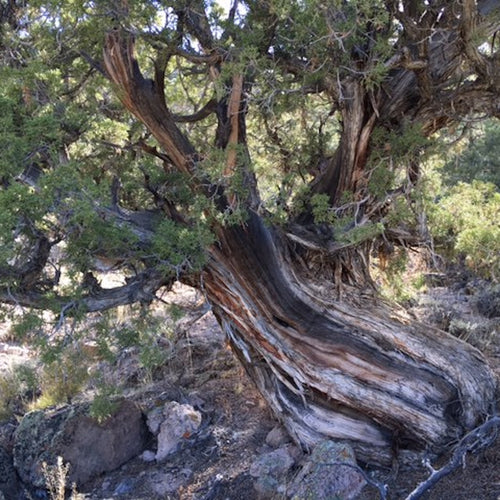 Pinon-Juniper Essential Oil Co-distillation - Song of Stones