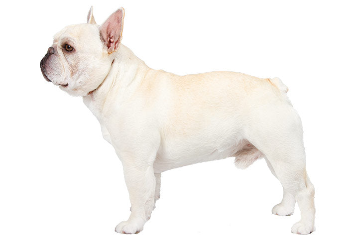 Ultimate Guide on Caring for French Bulldogs