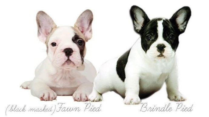 FRENCH BULLDOG COLORS AND MARKINGS: Frenchie Color Genetics and Health