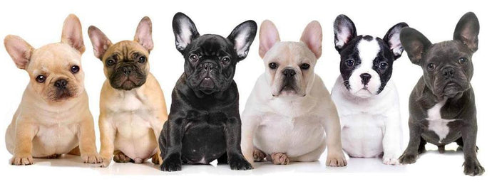 Allowed and Disallowed French Bulldog Colors in the United States