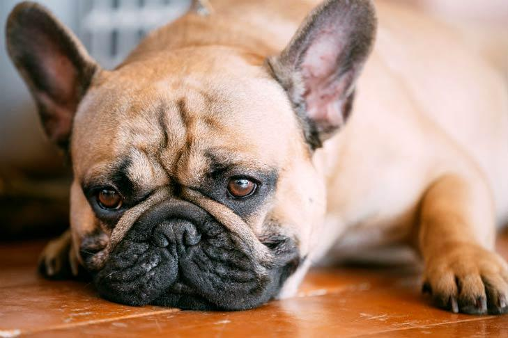 Common Causes Of French Bulldog Hair Loss Frenchie Shop