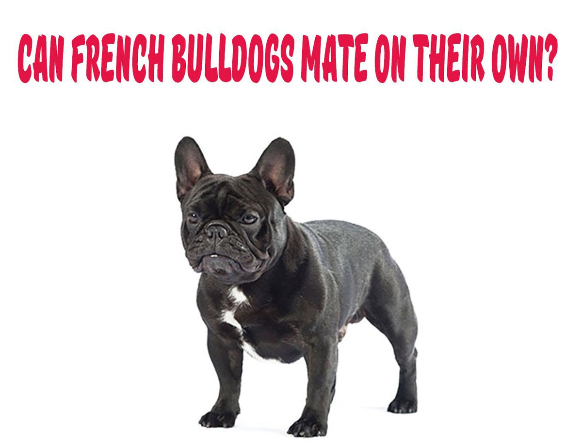 Can French Bulldogs Mate On Their Own Frenchie Shop