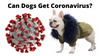 FRENCH BULLDOGS AND COVID-19: Can Dogs Get Coronavirus?
