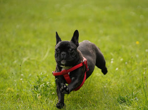 WHAT YOU NEED TO KNOW ABOUT FRENCH BULLDOG BREATHING