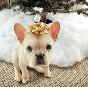 How much do french bulldog costs