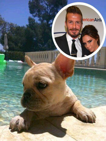 David and Victoria Beckham with their French Bulldog, Scarlet Beckham