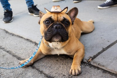 French Bulldog, a Frog Dog