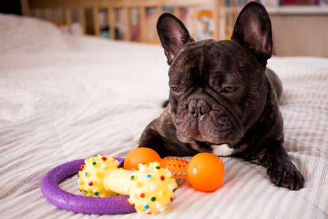 French Bulldog and Toy