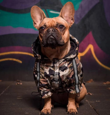 The Ultimate Winter Jacket for Frenchies