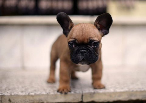 How Much Do French Bulldog Costs Frenchie Shop