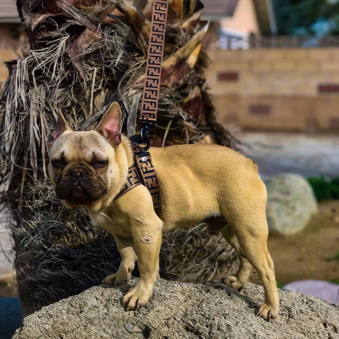 Luxury Harness and Leash (WS63) - Frenchie Bulldog Shop