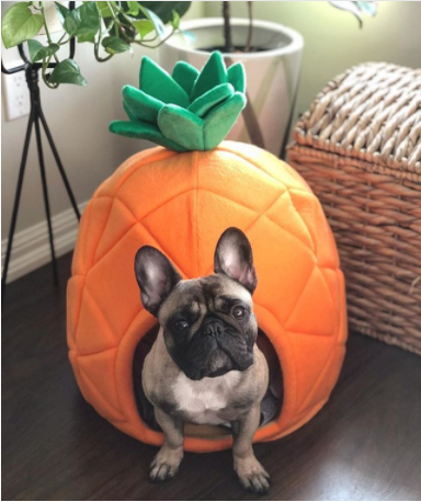 Pineapple  bed for Frenchies - frenchie Shop