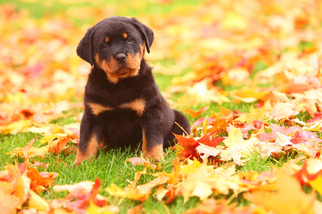 5 Rottweiler Puppy Training Tips