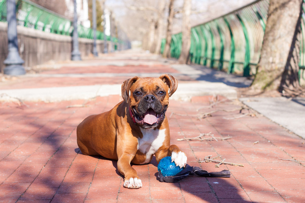 The Best Chew Toys for Boxers