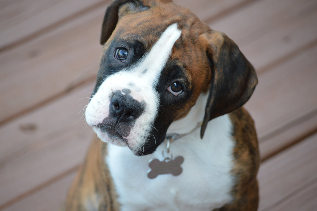 Five Boxer Puppy Training Tips