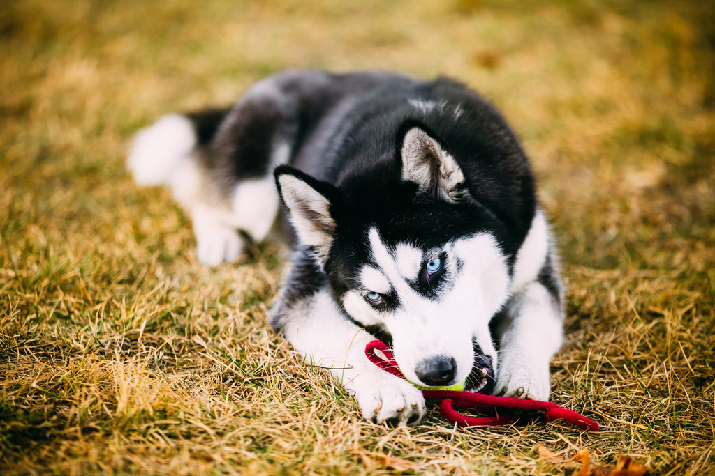 The Best Toys for Huskies