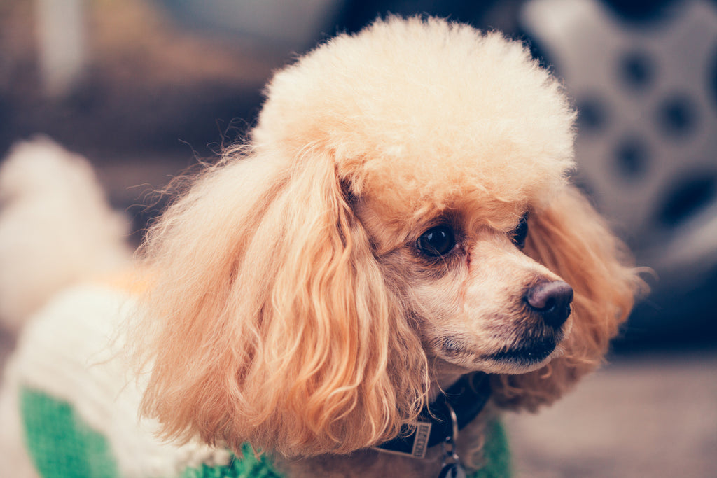 10 Tips on Poodle Leash Training