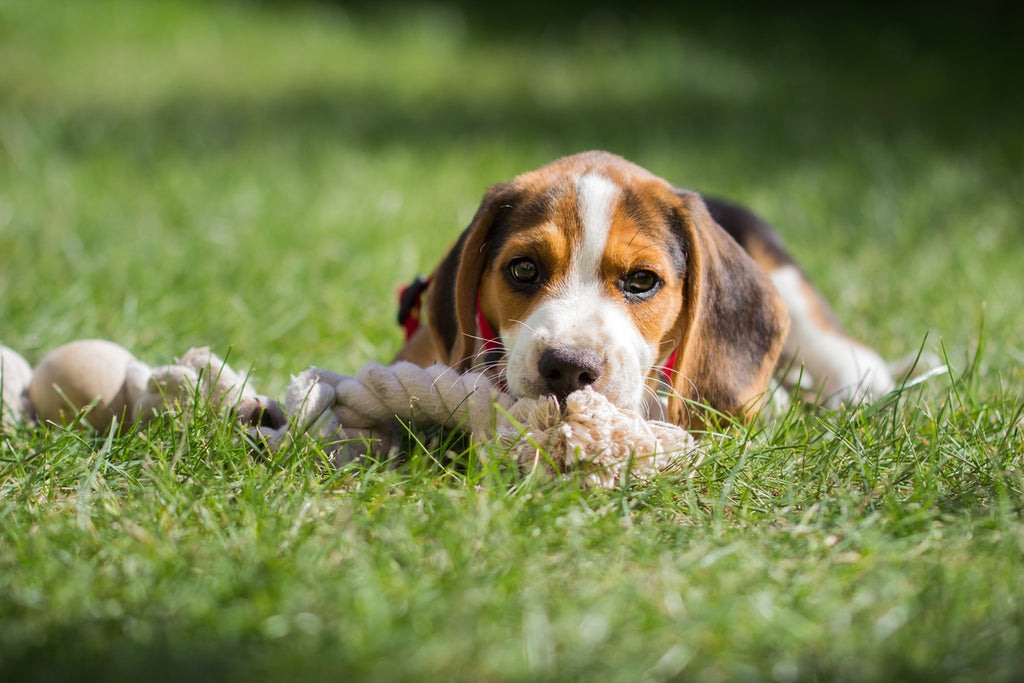Beagle Chew Toys that Your Dog Will Love