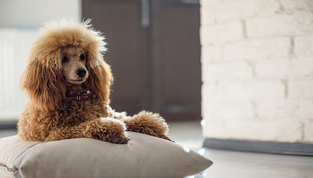 5 Poodle Puppy Training Tips