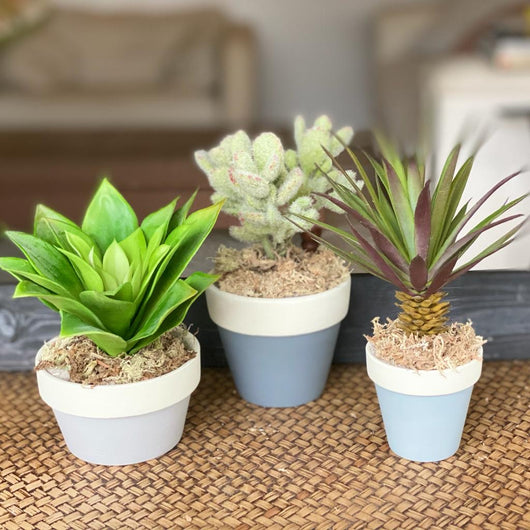 Trio of succulent