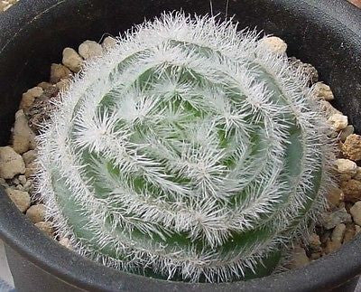 Crassula barbata  - 1000 seeds