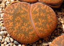 Lithops lesliei -Warrenton form C. 005