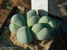 Gibbaeum heathii - pack of 1000 seeds