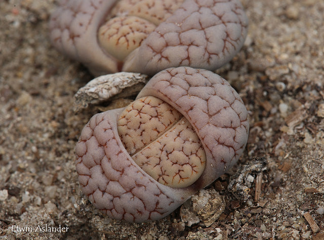 Lithops gracilidelineata var. waldroniae C.189  -  200 seeds *Limited to 2 packets per customer only