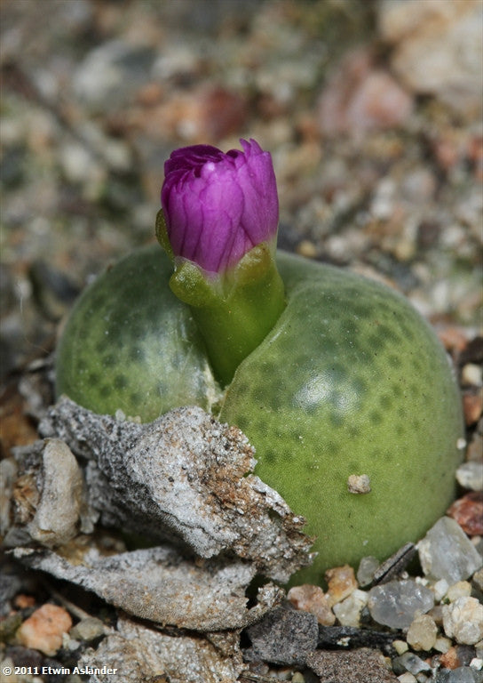 Conophytum subfenestratum (old name = pillansii) EA3014  -  200 seeds