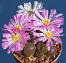 Conophytum,  section Opthalmophyllum mix
