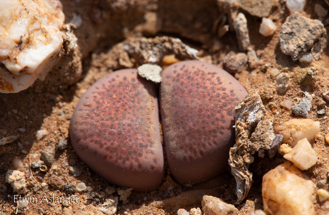 Lithops terricolor cv. Violetta  (F.192.1a)   200 seeds