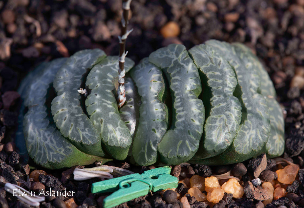 Haworthia truncata   ''selected forms''