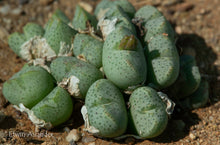 Conophytum taylorianum ssp. ernianum (mg 1456)  200 seeds  (limited to 2 packets per customer)