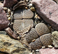 Lithops hookeri mixed