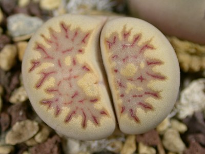 Lithops julii ssp. fulleri C.122  -  500 seeds