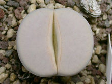 Lithops pseudotruncatella ssp. groendrayensis C.244  -  200 seeds